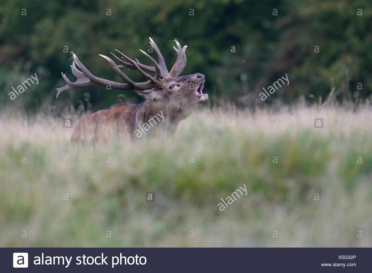 Red deer (Cervus elaphus), Royal Stag roaring, Zealand, Denmark - Stock Image