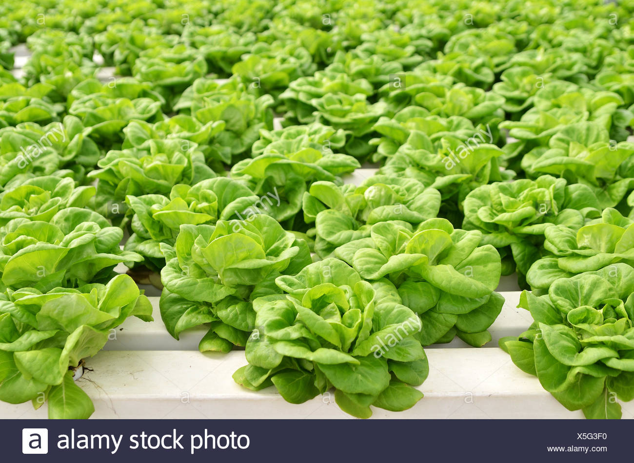 Commercial greenhouse soilless cultivation of vegetables Stock Photo