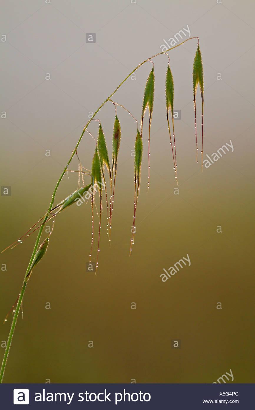 animated oat, sterile oat (Avena sterilis), inflorecence in morning dew, Balearen, Majorca Stock Photo