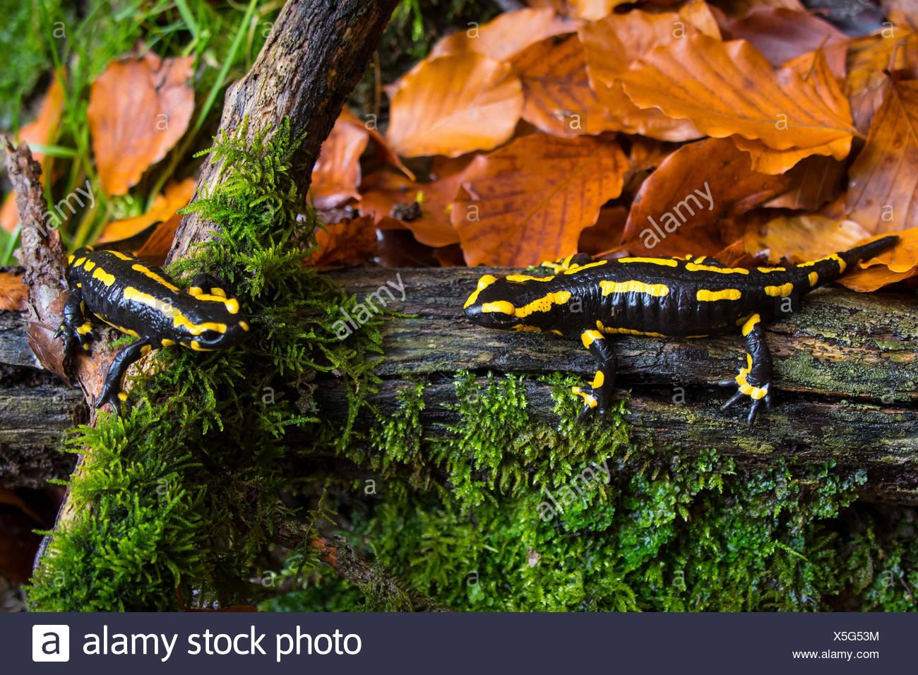 European fire salamander (Salamandra salamandra), two individuals on a dead wood, Switzerland, Sankt Gallen - Stock Image