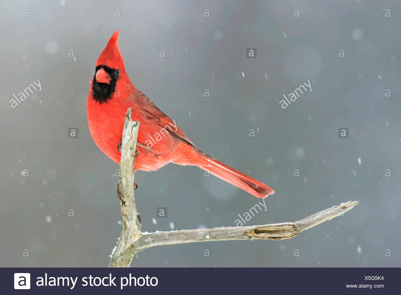 Rotkardinal, Rot-Kardinal, Roter Kardinal (Cardinalis cardinalis), sitzt bei Schneefall auf einem Ast, USA, Michigan | Common ca - Stock Image