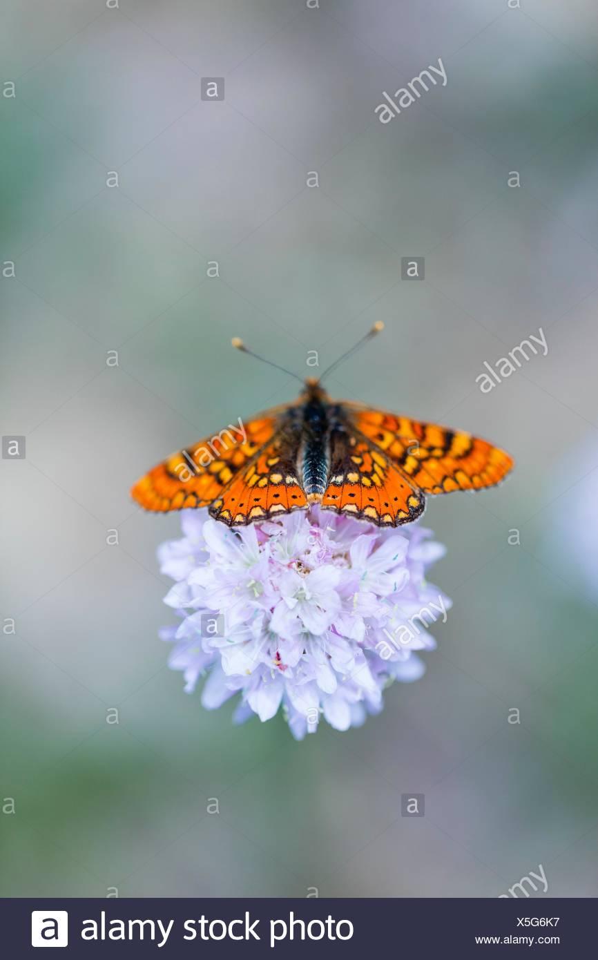 Butterfly, Sierra de Guadarrama, Madrid, Spain, Europe. Stock Photo