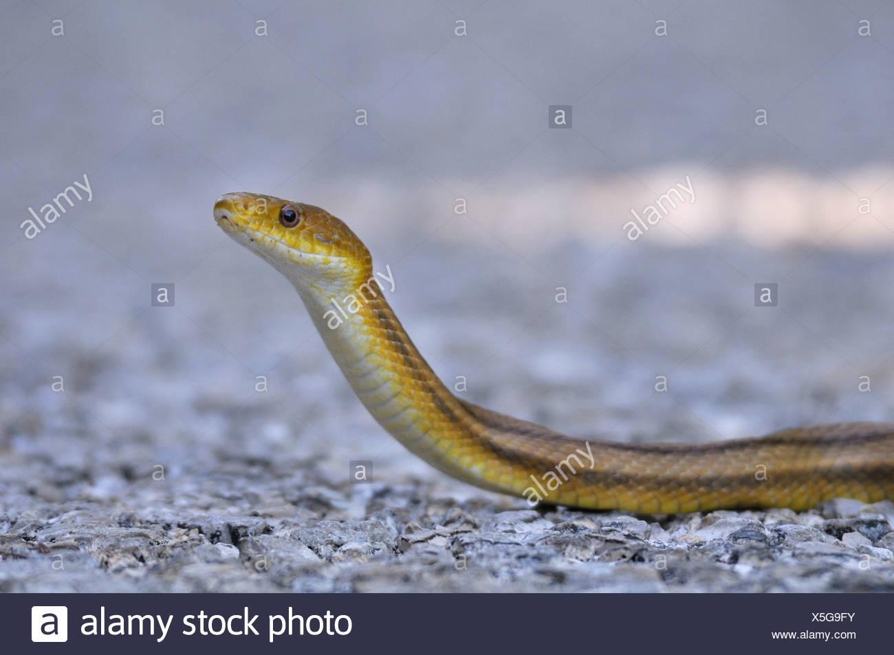 Yellow Ratsnake, snake, J. N. Ding Darling, National Wildlife Refuge, - Stock Image