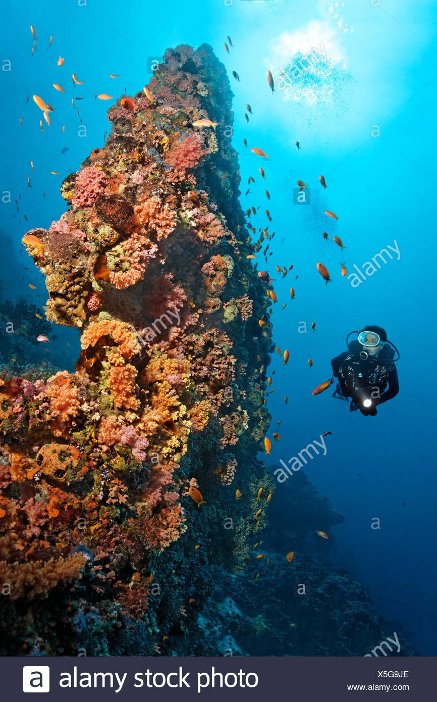 Divers, bizarre, coral reef, coral block, densely overgrown, low animals, various, red, soft corals (Dendronephthya sp.) and - Stock Image