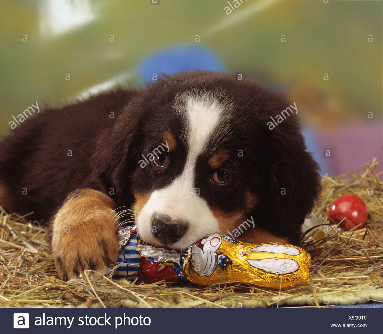 Bernese Mountain Dog Puppy Eating Chocolate Easter Bunny
