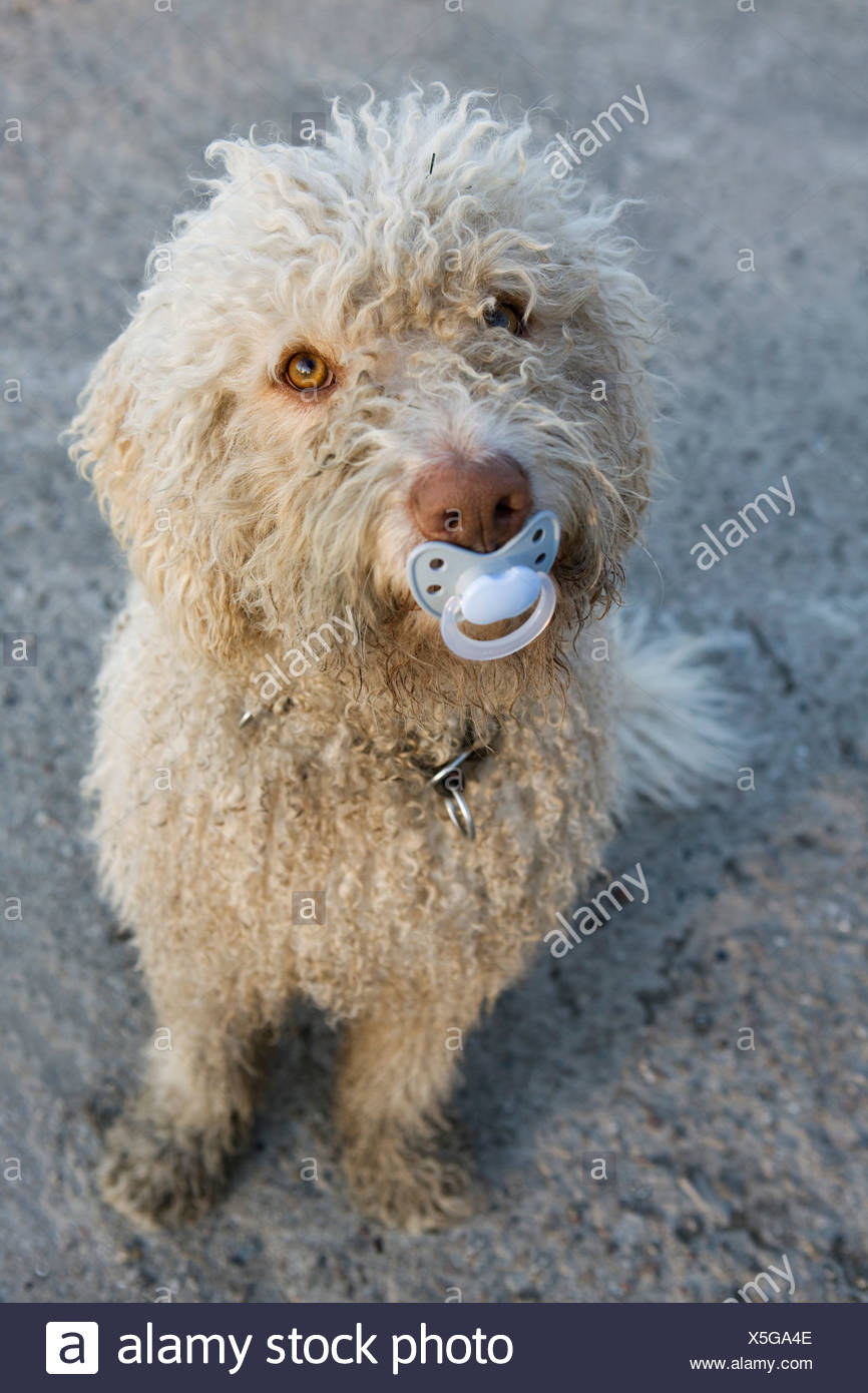 A Portuguese Water Dog with a pacifier in his mouth - Stock Image