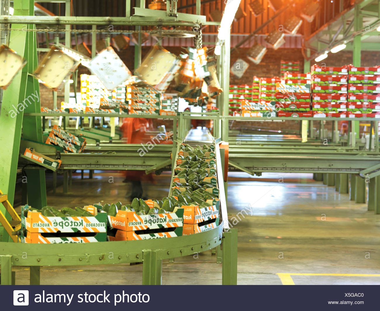 Production line of boxed avocados, Burpack - Stock Image
