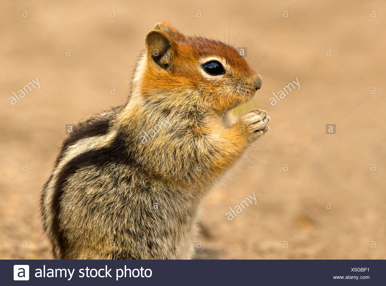 Golden-mantled ground squirrel (Spermophilus lateralis) at Deschutes National Forest, Oregon, USA - Stock Image