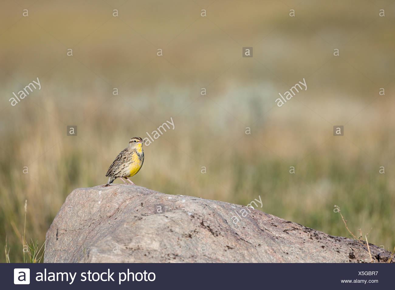 Western meadowlark (Sturnella neglecta), adult in winter plumage, Grasslands National Park, Saskatchewan. Stock Photo