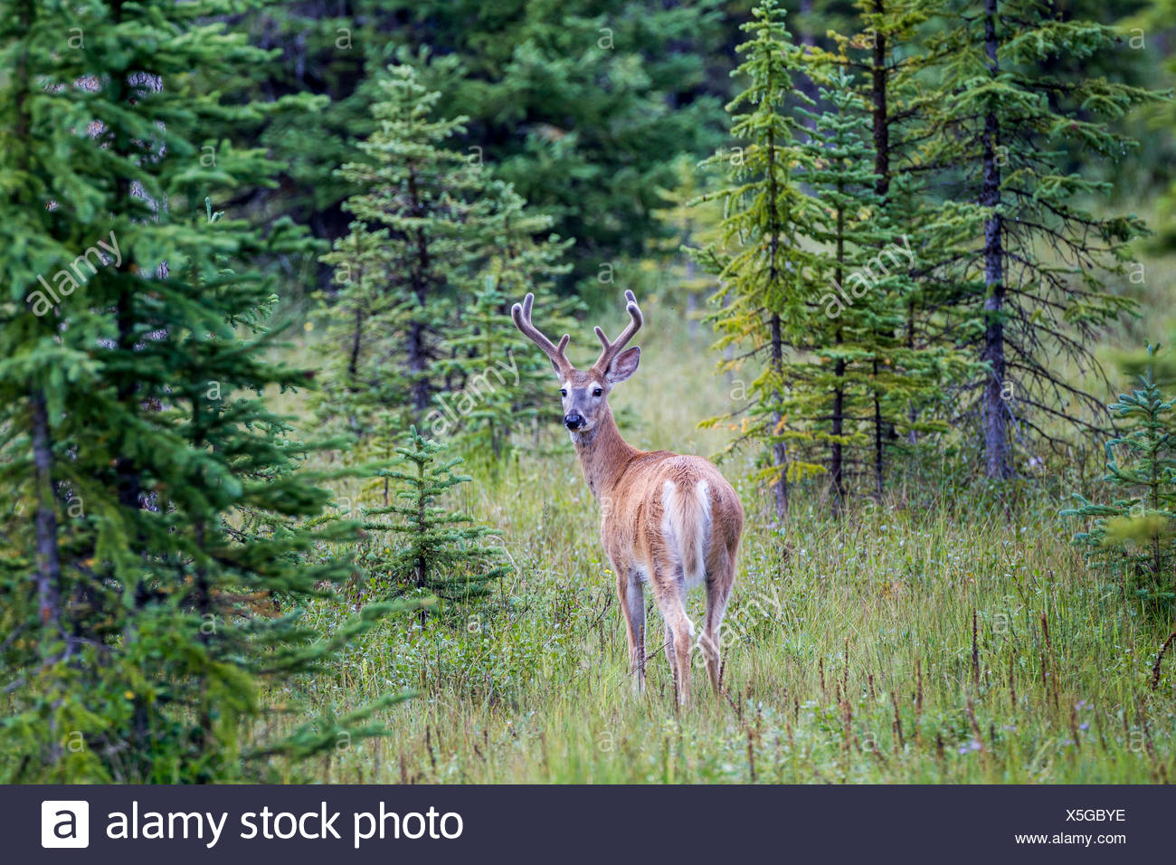 White-tailed Deer (Odocoileus virginianus) buck, Peter Lougheed Provincial Park, Alberta, Canada - Stock Image
