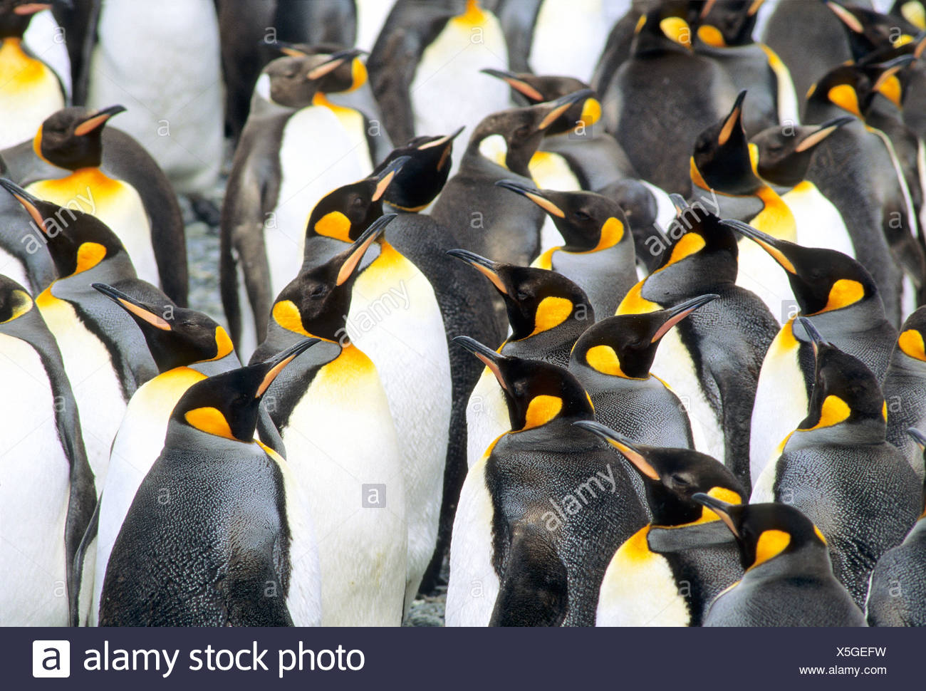Molting adult king penguins (Aptenodytes patagonicus), Salisbury Plains, South Georgia Island, southern Atlantic Ocean - Stock Image