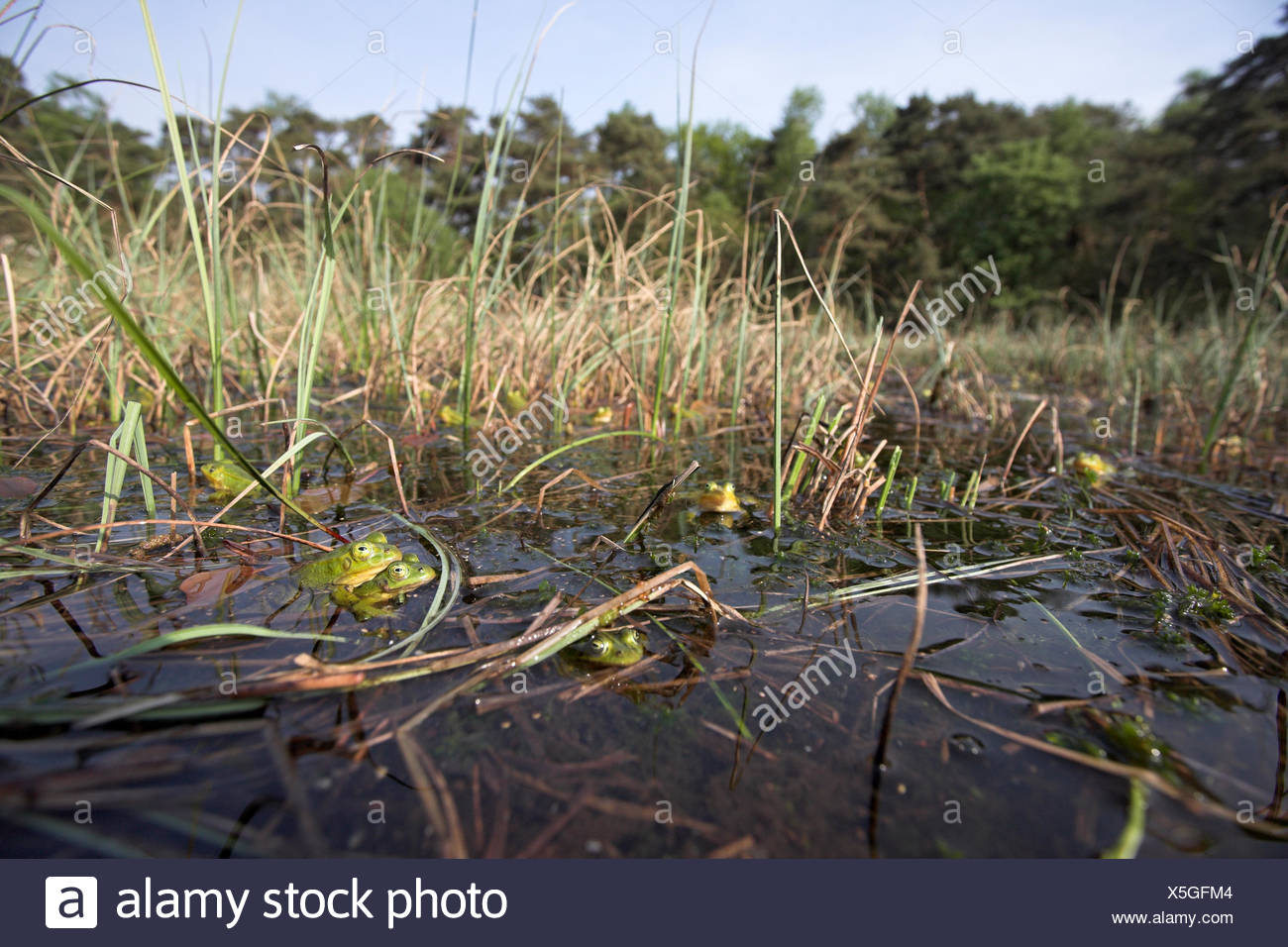 overview of a choir of male poolfrogs in early spring, males of the pool frog turn yellow during breeding season Stock Photo