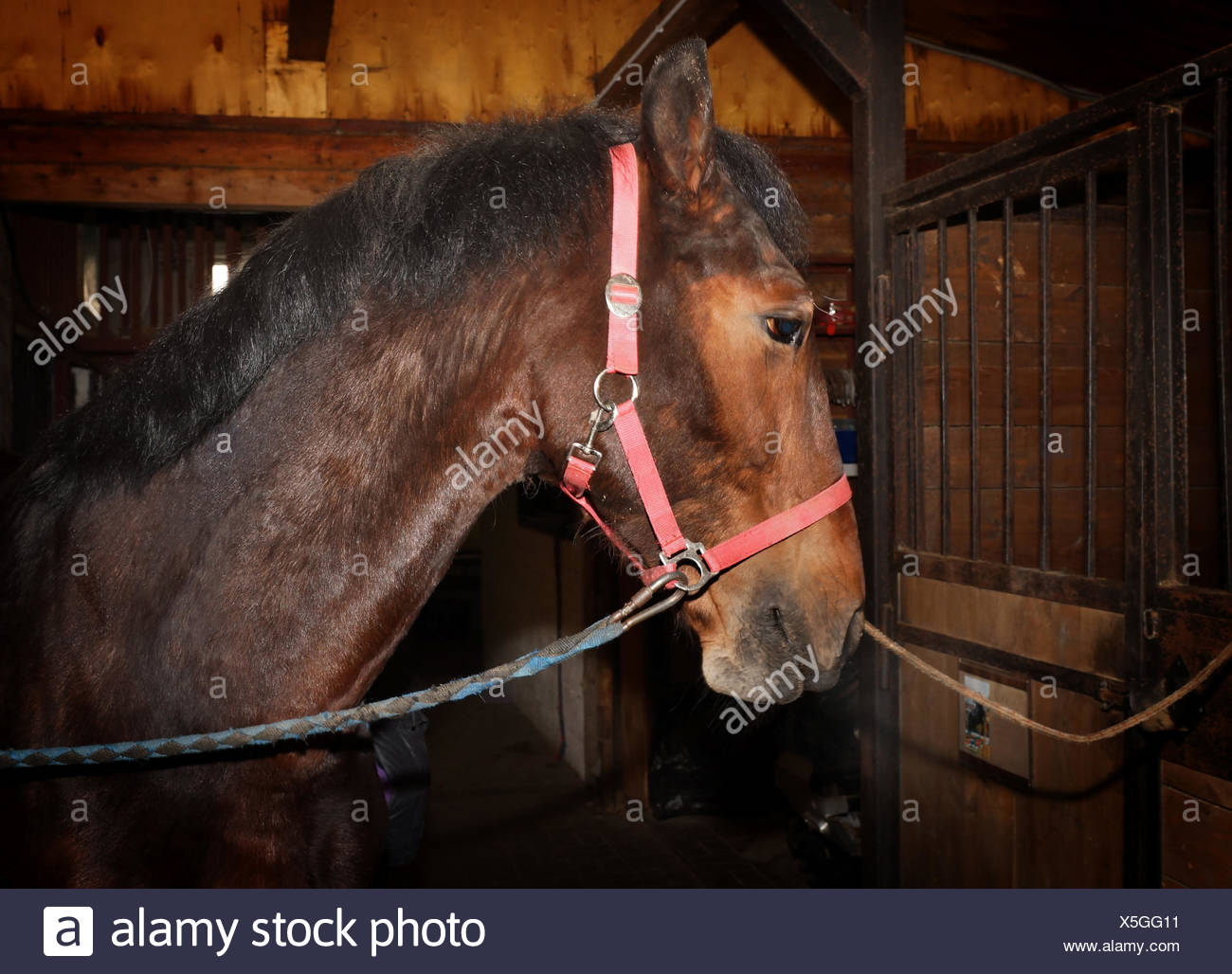 Bay horse with harness standing in the stall - Stock Image
