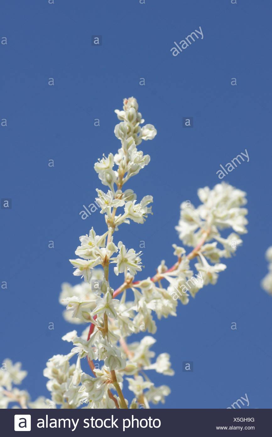 Fallopia aubertii, Russian vine - Stock Image