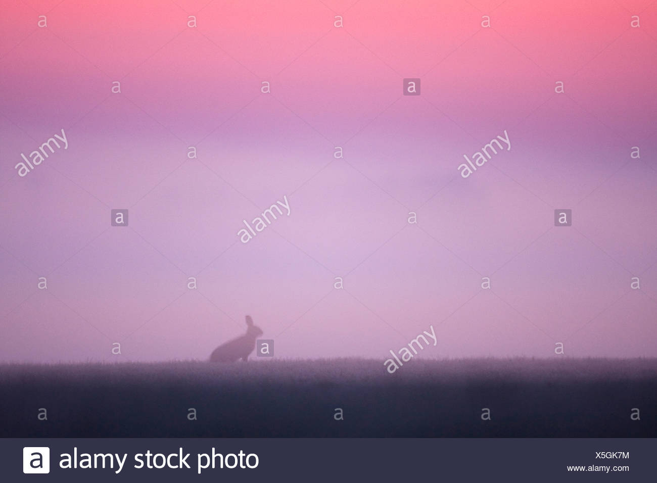Hare before sun rise against pink sky. - Stock Image