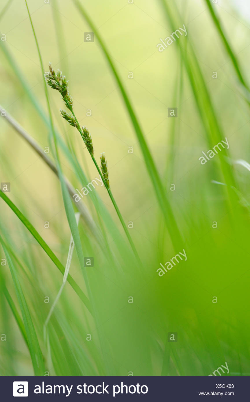 Flowering Elongated Sedge in wet woodland - Stock Image