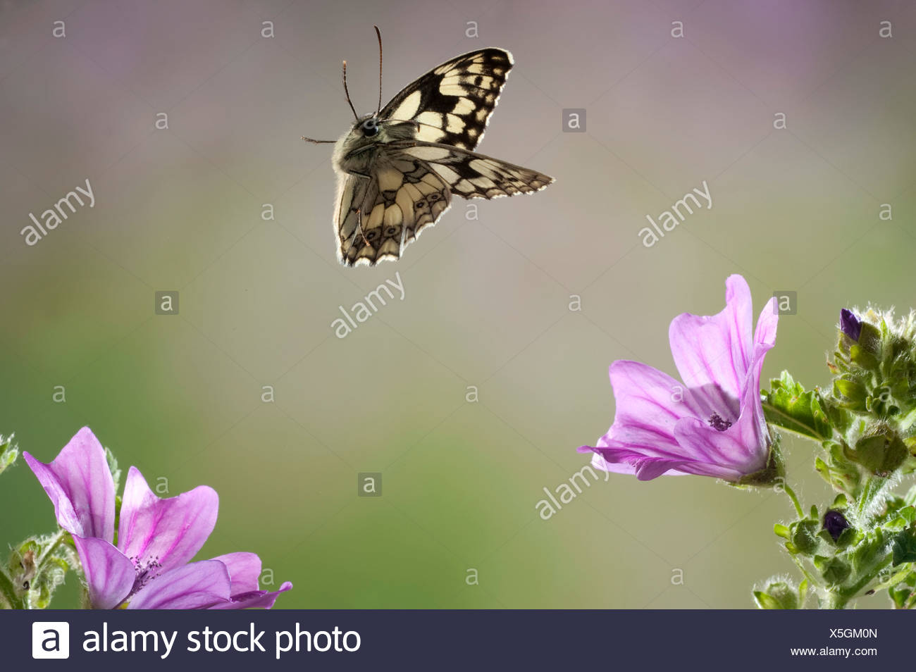 Marbled White Butterfly Melanargia galathea In flight free flying High Speed Photographic Technique - Stock Image