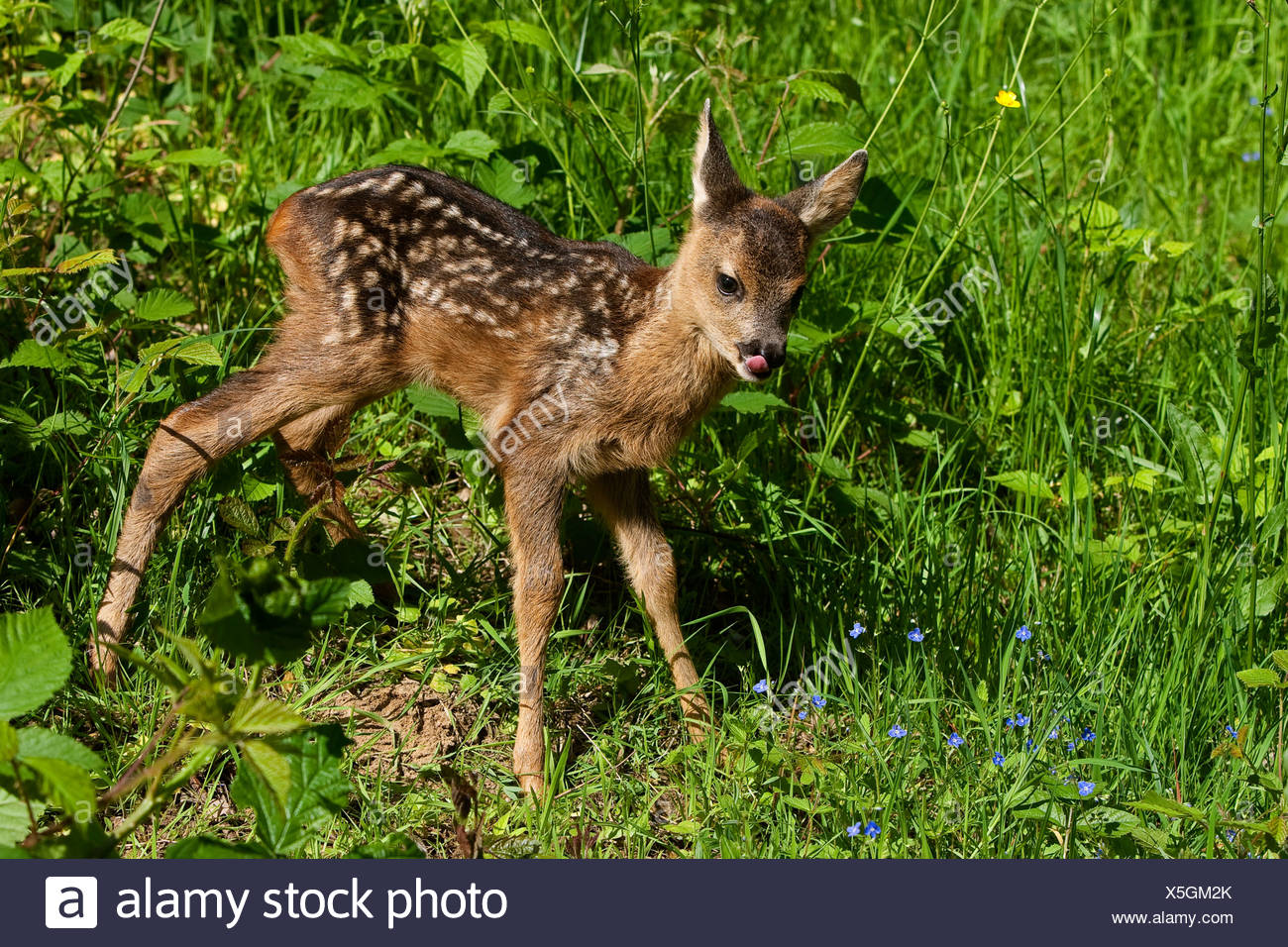 roe deer (Capreolus capreolus), fawn in a meadow frisst Blueten licking its mouth, Germany - Stock Image