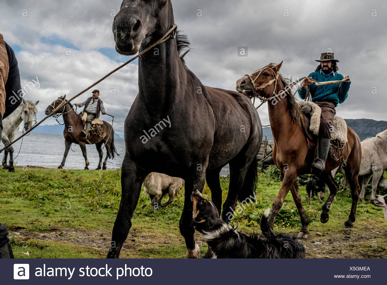 Bagualeros, or cowboys who capture feral livestock, herd horses for branding at a ranch. - Stock Image