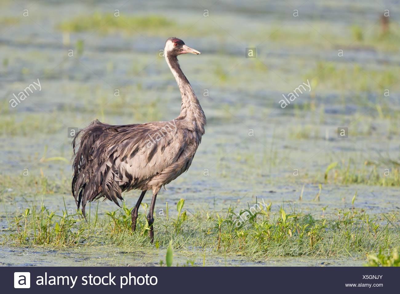 feathers, feathering, crane, feathers, feathering, crane, grayer, grey, gray, Stock Photo