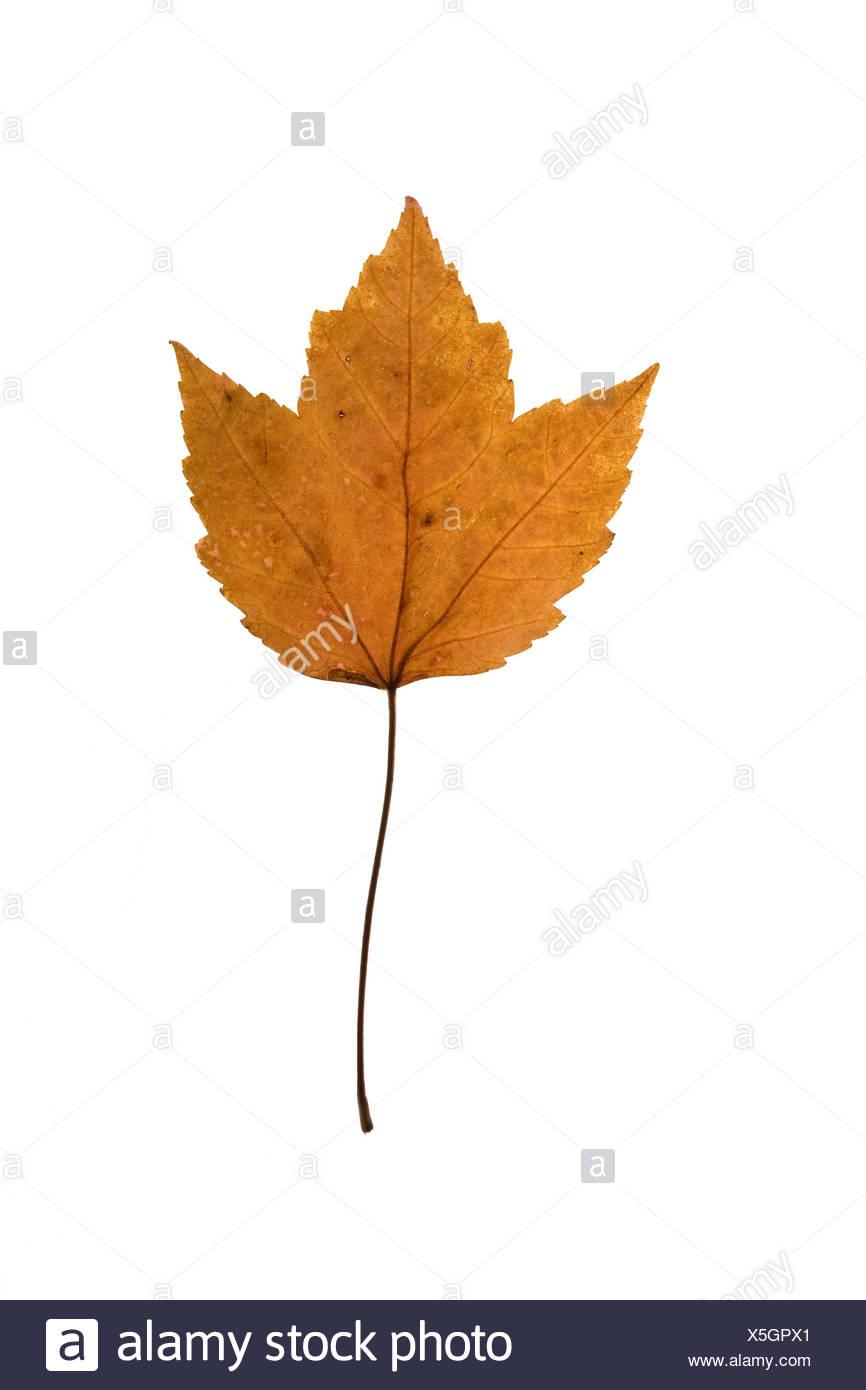 Maple leaf on white background - Stock Image
