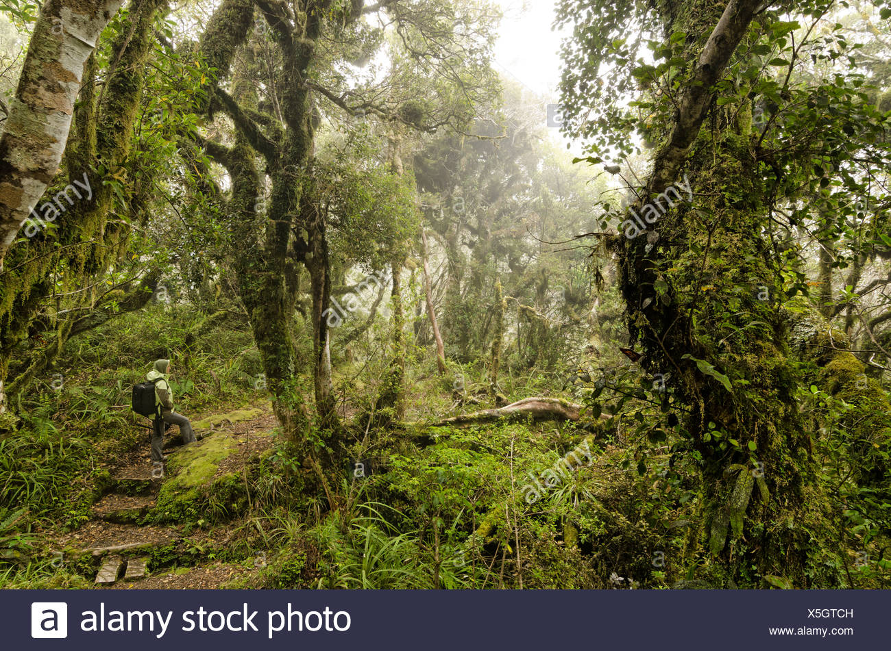 Female hiker carrying a backpack in the rain forest, hiking path in the Egmont National Park, North Island, New Zealand - Stock Image