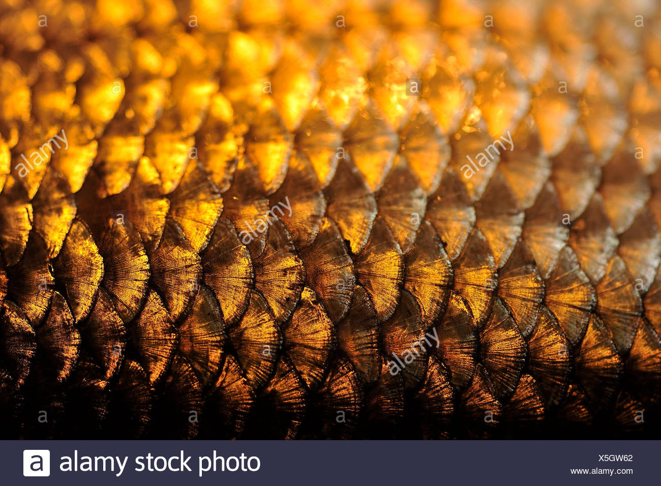 Of fish scales in the golden light takes a photo Stock Photo
