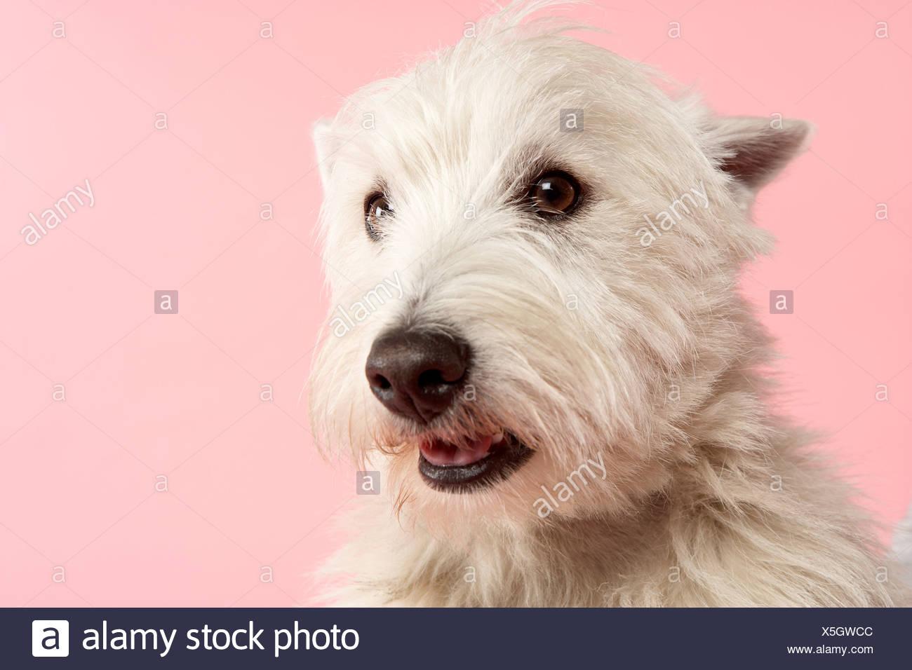 West Highland Terrier Dog In Studio - Stock Image