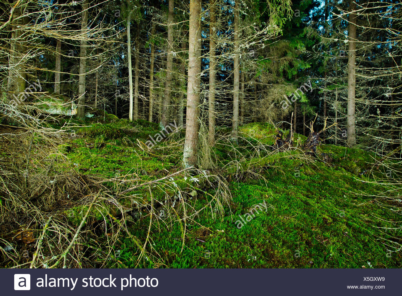 Finland, Paijat-Hame, Fallen tree in spruce forest - Stock Image