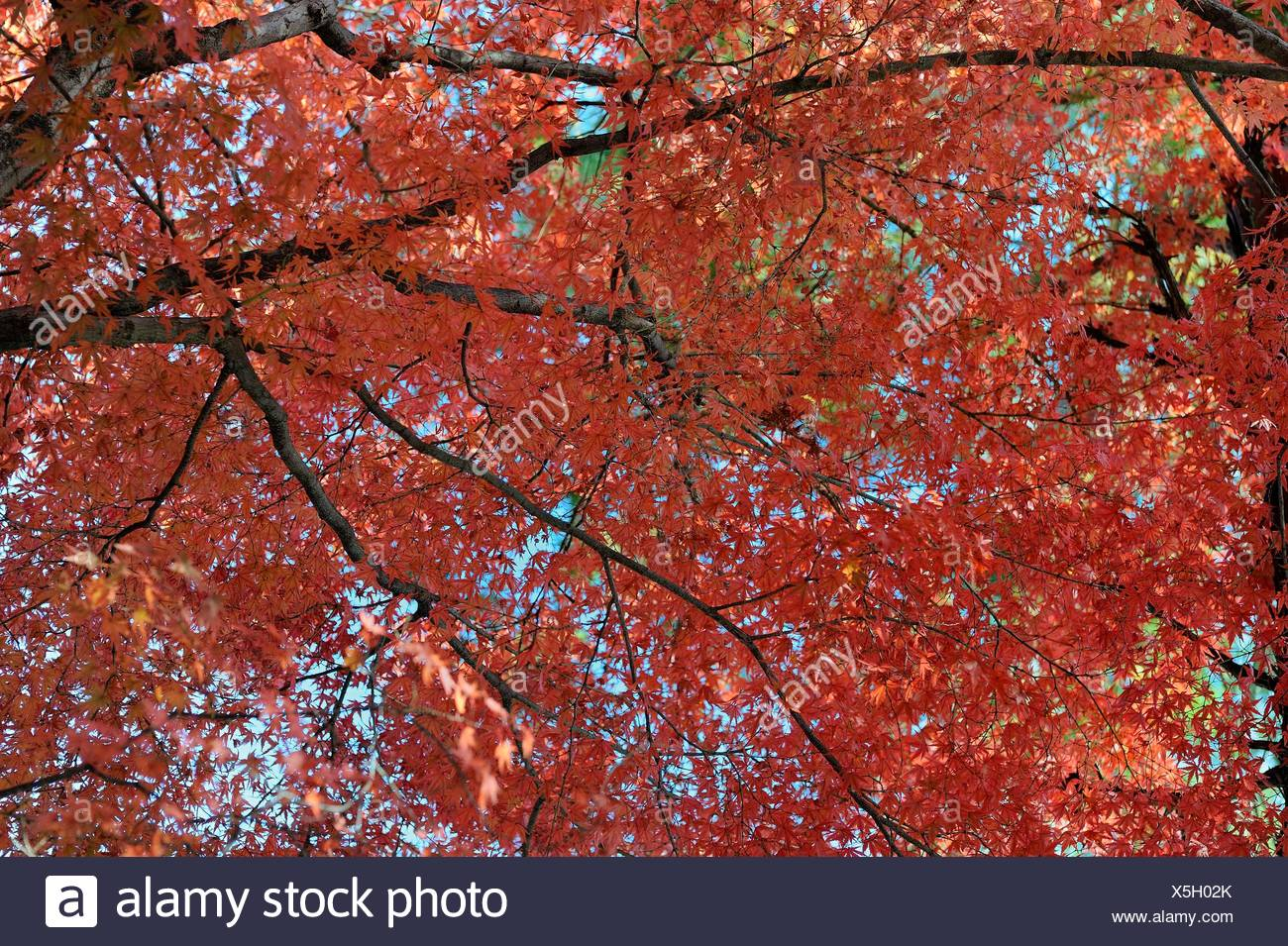 Japanese Maple (Acer palmatum) with red foliage in autumn, Kyoto, Kinki region, Japan - Stock Image