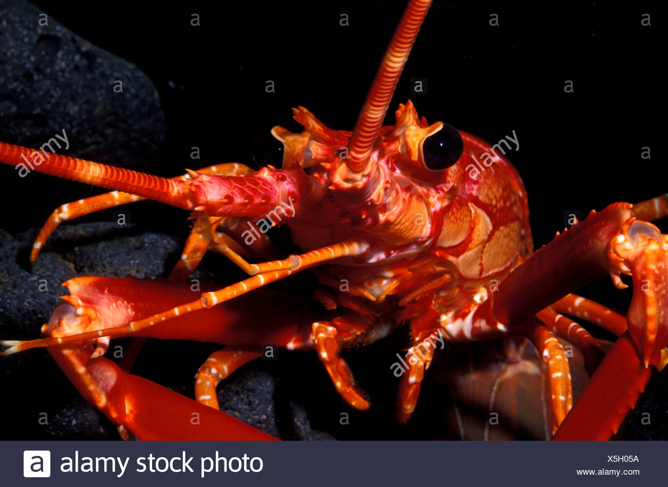 The Hawaiian Lobster (Justitia longimanus). - Stock Image