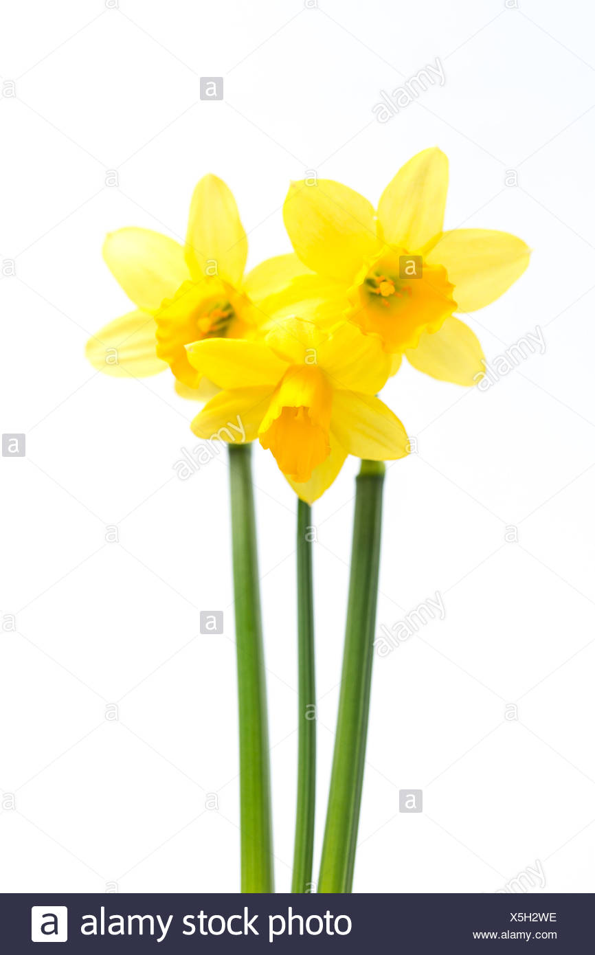 Pretty yellow daffodils with stems - Stock Image