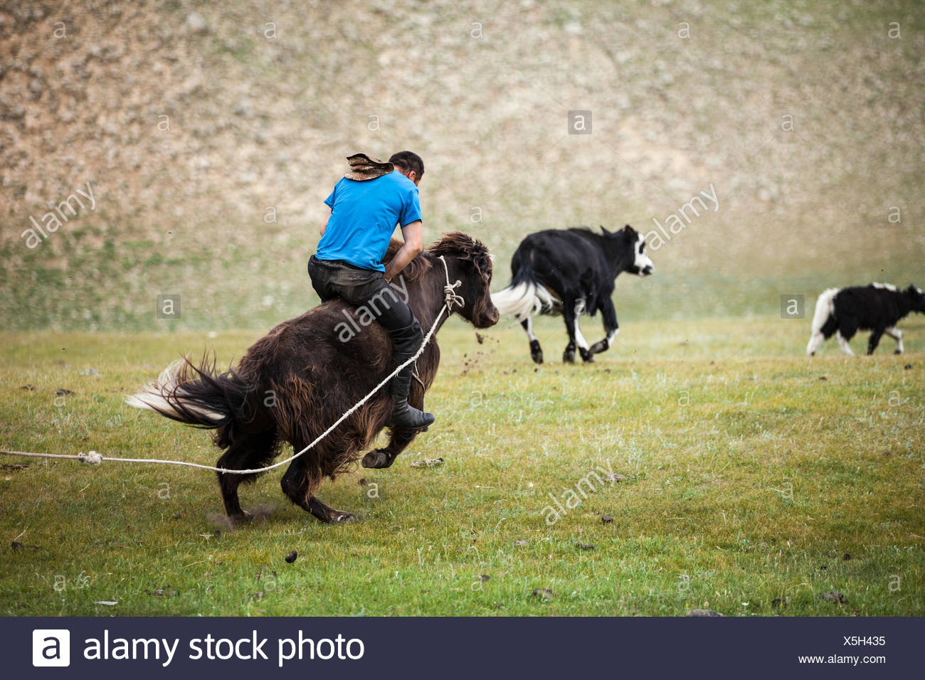 Man riding yak bronco, Bulgan, Central Mongolia, Mongolia - Stock Image