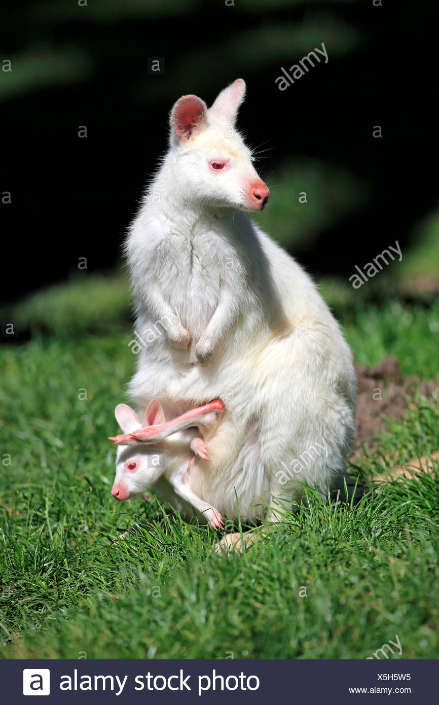 Bennett Wallaby, albino, female with joey,looking out of pouch, Australia / (Macropus rufogriseus) - Stock Image