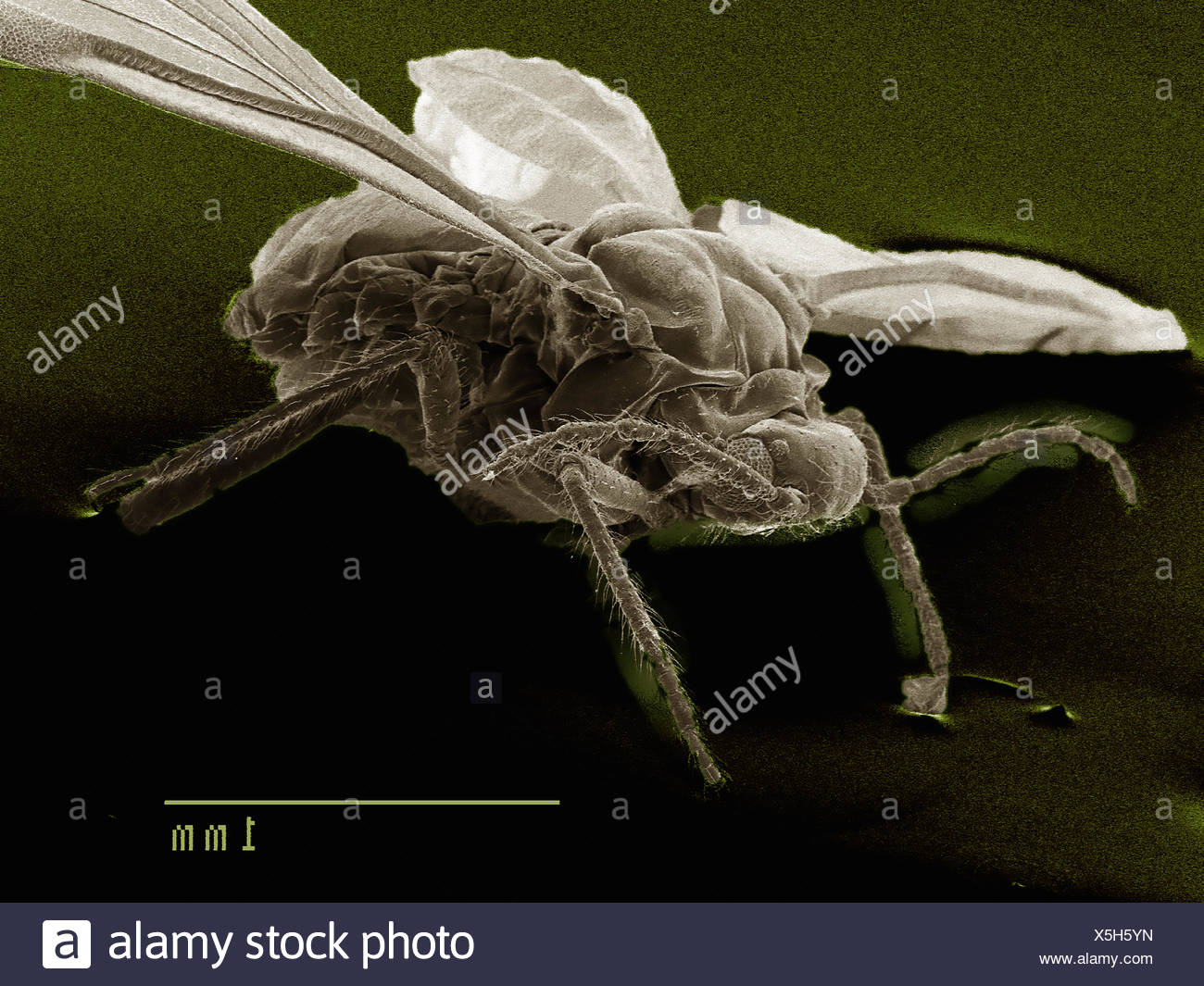 Lateral view of winged aphid, Hemiptera - Stock Image