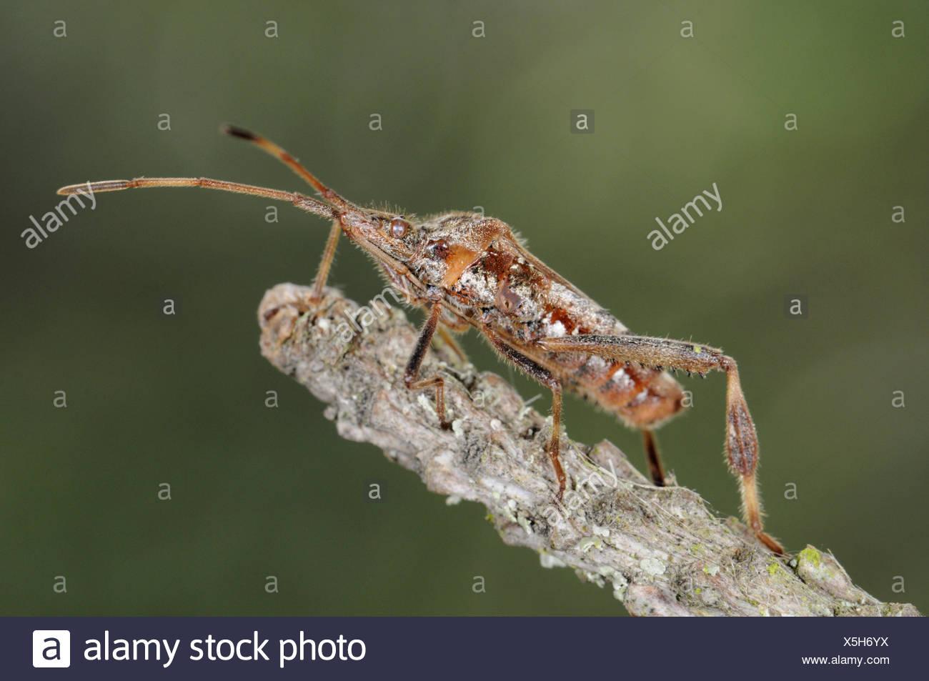 Western Conifer Seed Bug - Leptoglossus occidentalis - Stock Image