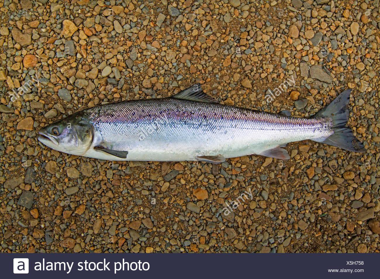 Atlantic salmon, ouananiche, lake Atlantic salmon, landlocked salmon, Sebago salmon (Salmo salar), smolt, Ireland, River Moy - Stock Image