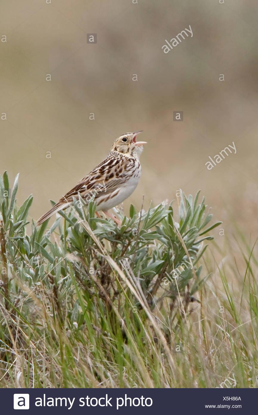 Baird's Sparrow (Ammodramus bairdii) perched on sagebrush in Saskatchewan, Canada. - Stock Image