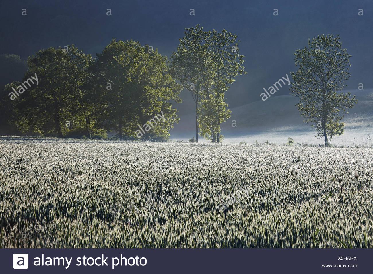 wheat field in hoarfrost - Stock Image