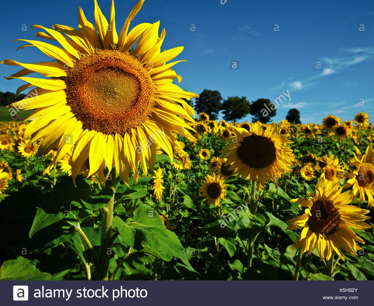 Altmühltal, Nature Park, Asteraceae, Bavaria, Upper Bavaria, Compositae, Germany, Dollnstein, field, yellow, Helianthus annuus, - Stock Image