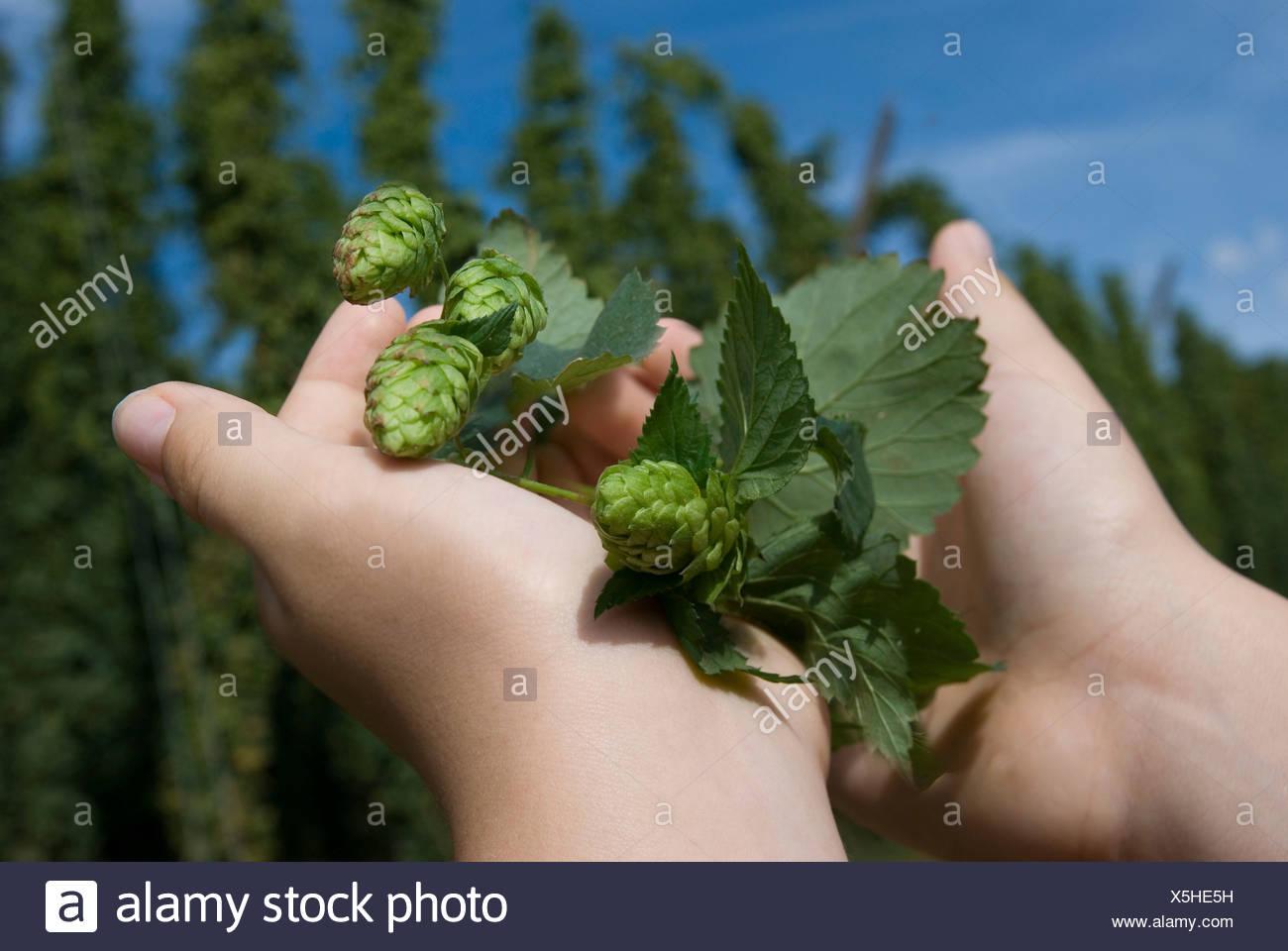 Hands holding freshly harvested hops, hop field near Altmannstein in Altmuehltal Nature Park, Bavaria - Stock Image