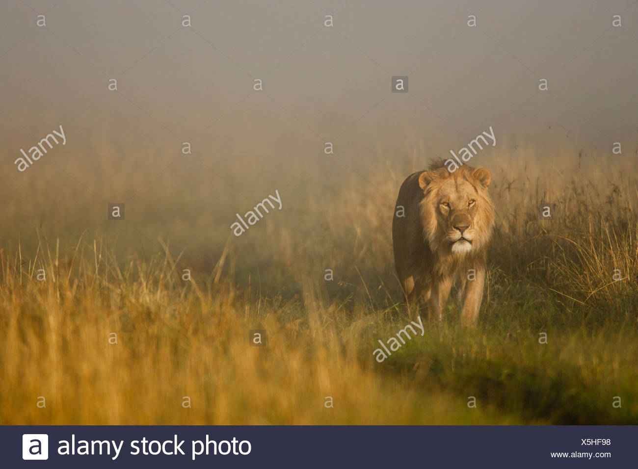 Lion emerging from the fog, Masai Mara, Kenya - Stock Image