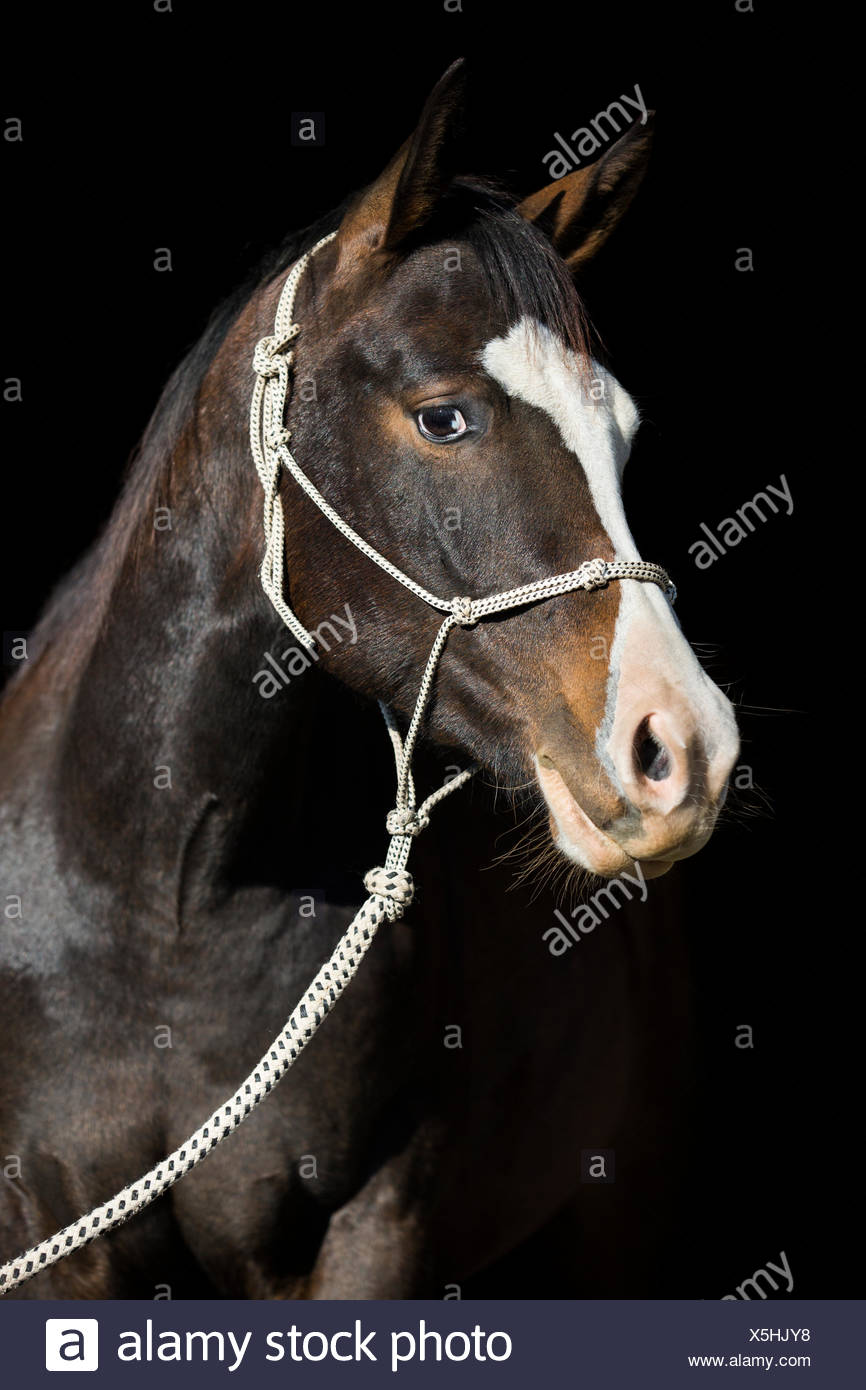 Paint Horse, bay horse, with a rope halter, portrait - Stock Image