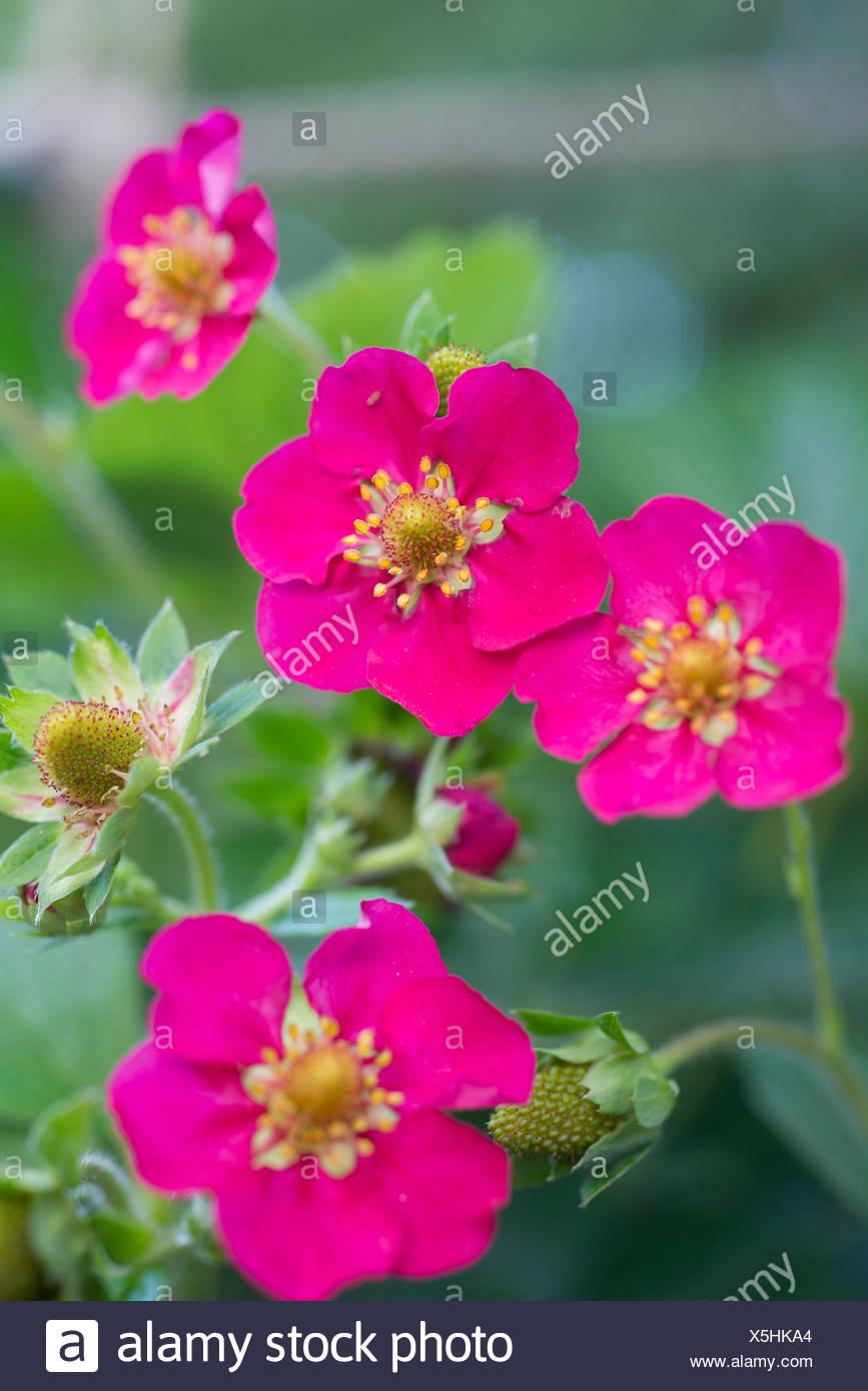Strawberry With Pink Flowers Stock Photo 278827532 Alamy