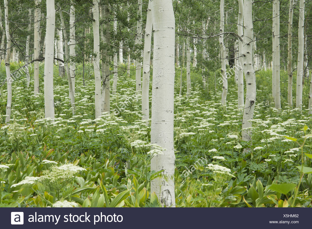 Grove of aspen trees with white bark and wild flowers growing in their shade - Stock Image