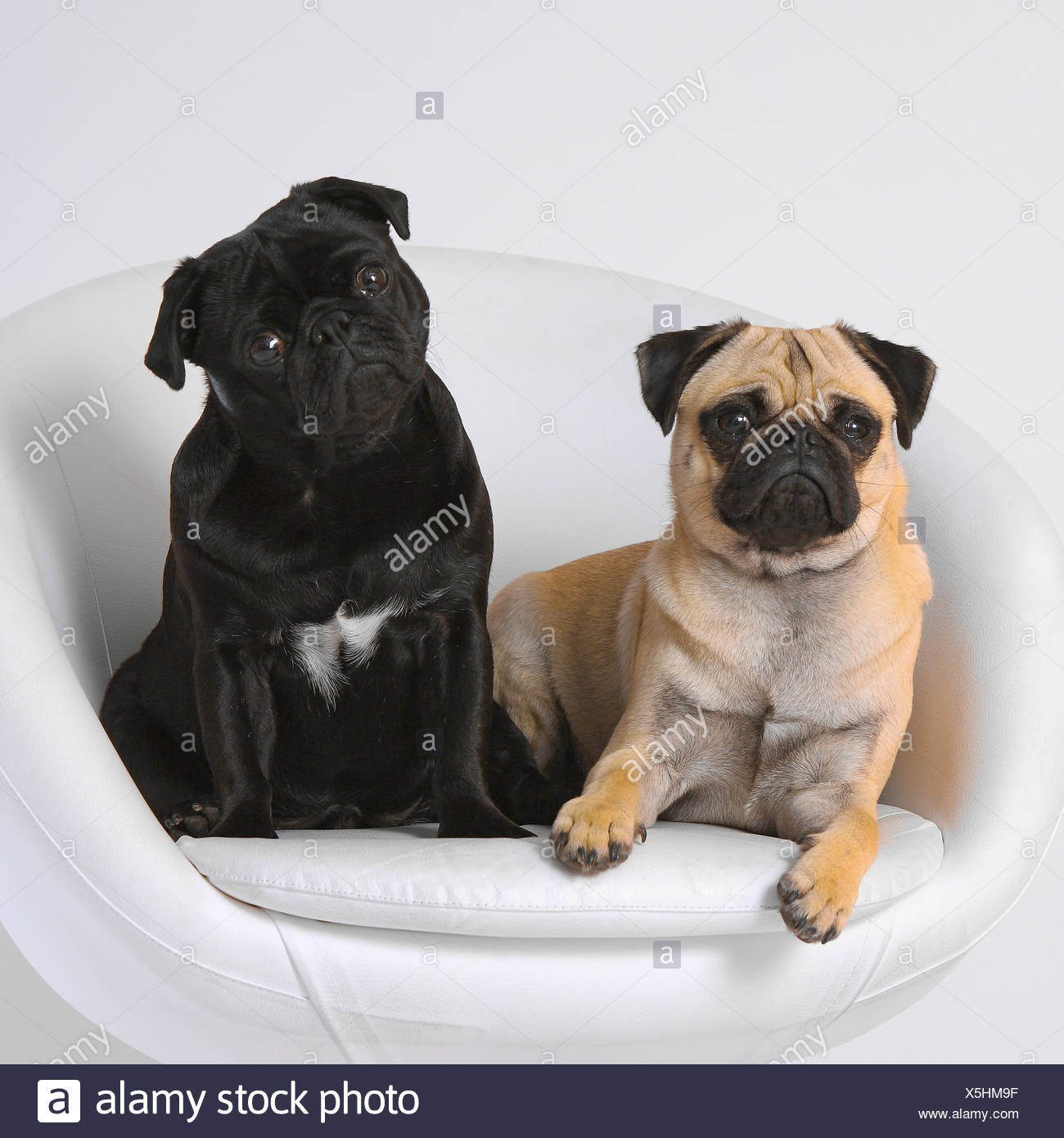 Pug (Canis lupus f. familiaris), two pugs together in a noble dog armchair Stock Photo