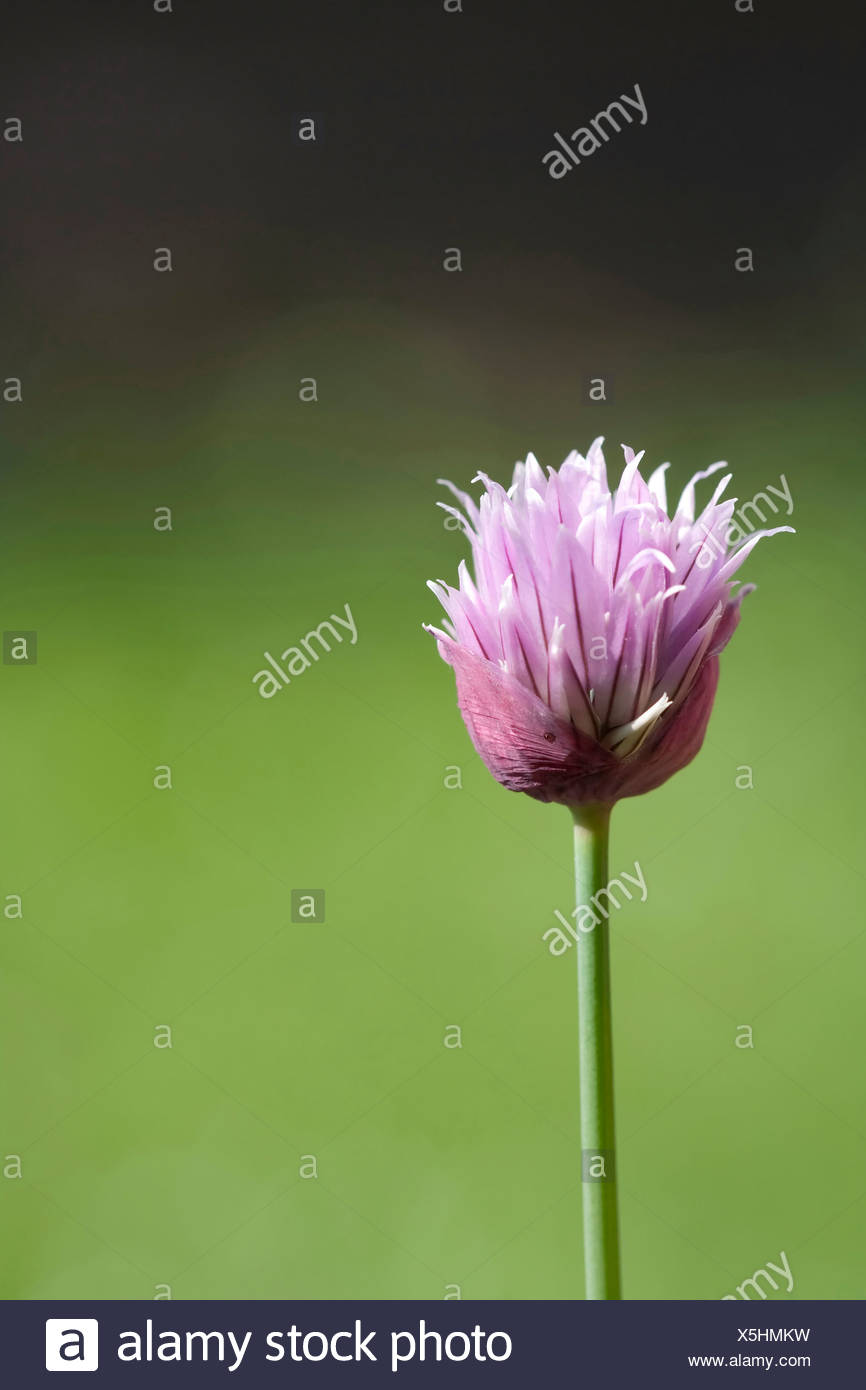 Allium schoenoprasum, Chive, Single purple herb flower subject, Green background - Stock Image