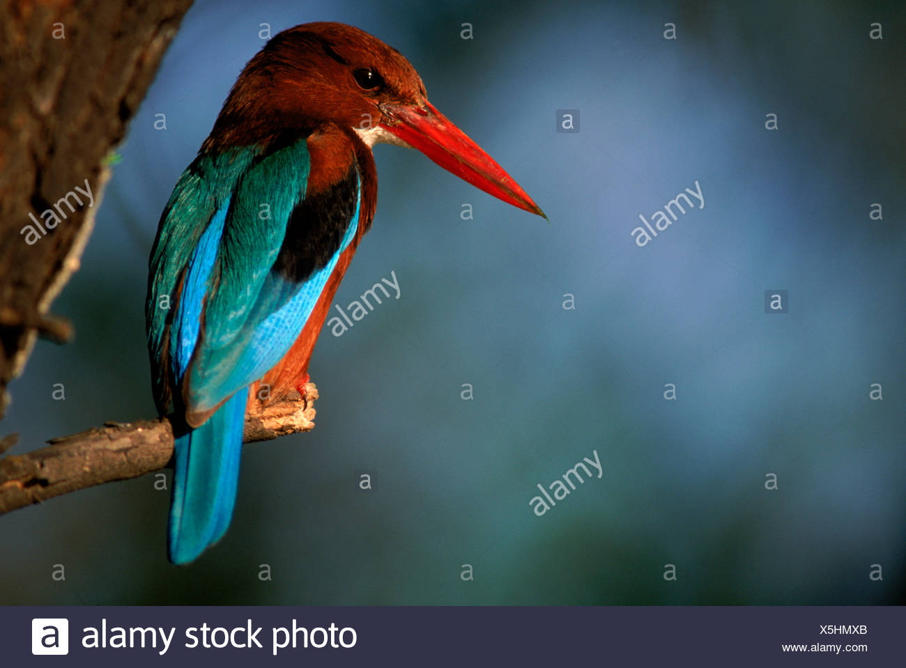 White breasted kingfisher Halcyon smurnensis Keoladeo Ghana NP India - Stock Image