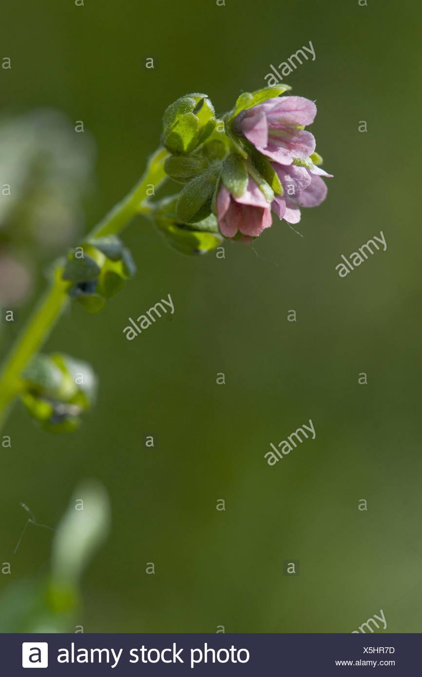 green hound's tongue, cynoglossum germanicum - Stock Image