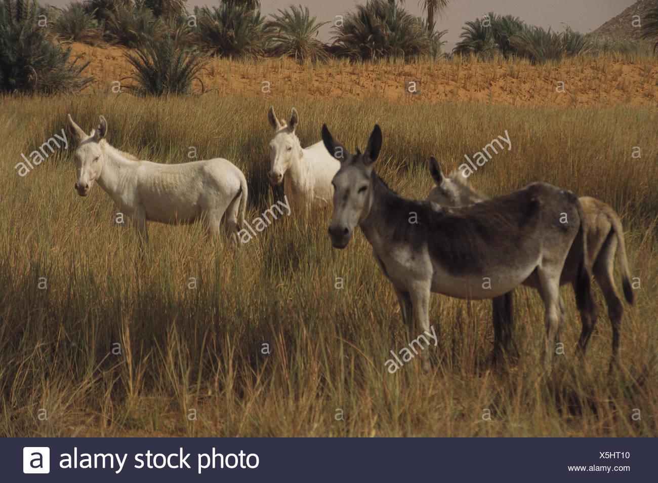 Chad, mesa country Ennedi, salt lake Ounianga Serir, west shore, donkey Central, Africa, landlocked country, Sahara, Sahara waters, lake, 381 m sea level, lakesides, beach, grass, animals, mammals, eat, nature, scenery - Stock Image